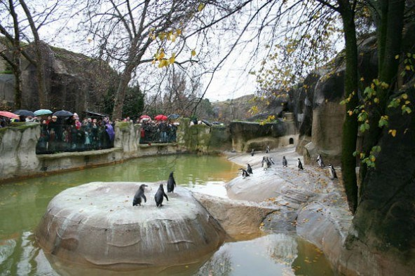 800px-Penguins_in_the_zoo_of_vincennes-592x394