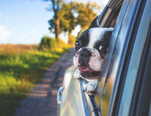Ветеринар показала, что чувствуют собаки в запертом авто